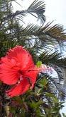 6.8:93:166:0:0:haibisukasu:left:1:0:海メロの庭に咲いているハイビスカス:0: