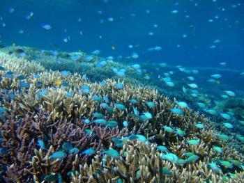 25.1:350:263:0:0:デバスズメダイ:right:1:1:美しいデバスズメダイはサンゴに隠れながら生活:0: