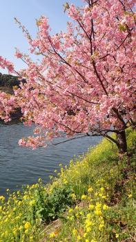 25.2:197:350:0:0:P2281366:right:1:1:ピンクと黄色のコントラスト桜のトンネル一応見たけど?:0: